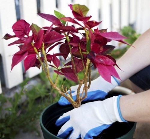 Выращивание пуансеттии